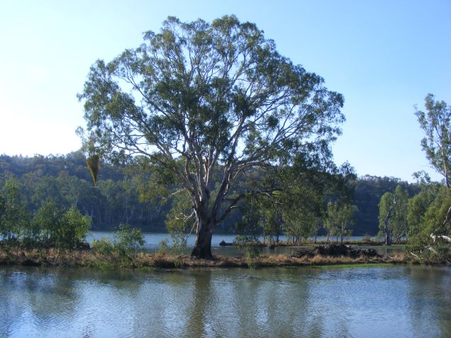 River Red Gum (Eucalyptus camaldulensis) tree - complete with mistletoe - on Snake Island in Lake Talbot